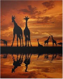 Poster Troupeau de girafes au coucher du soleil