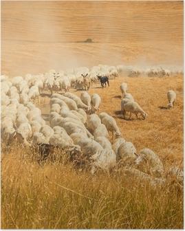 Poster Troupeau de moutons dans un champ de la Toscane