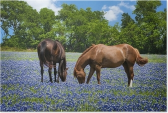 Two horses grazing in the bluebonnet pasture in Texas spring Poster