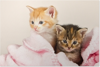Two kittens in a pink blanket Poster