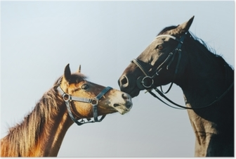 Two purebred horses on blue sky background Poster