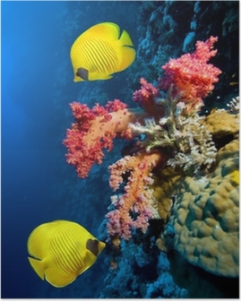 Underwater image of coral reef and Masked Butterfly Fish Poster