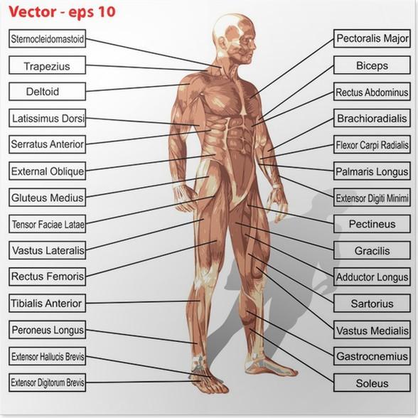 Póster Vector hombre anatomía humana con el texto músculos • Pixers ...
