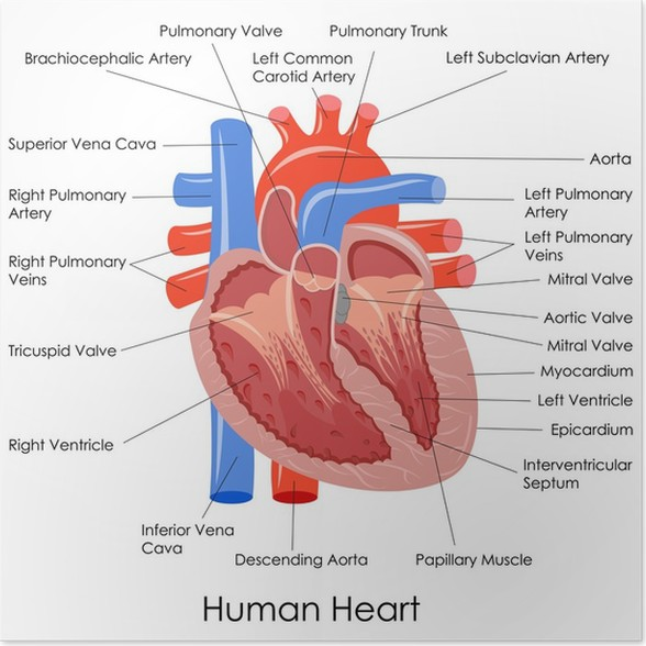 vector illustration of diagram of human heart anatomy Poster ...