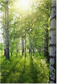 Póster Verano bosque de abedul con sol
