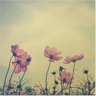 Vintage Cosmos flowers in sunset time Poster