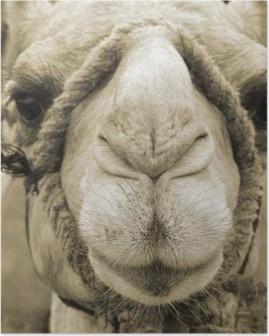 Poster Visage de chameau