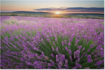 Poster Weide van lavendel