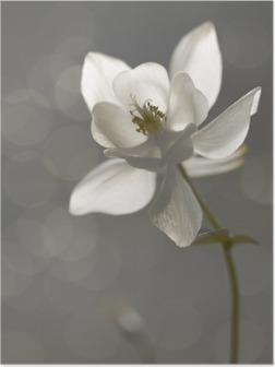 Weiße Akelei (Aquilegia)- Trauerkarte Poster