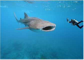 Whale shark and underwater photographer Poster