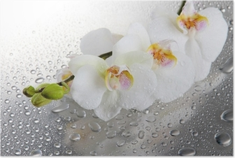 white beautiful orchids with drops Poster