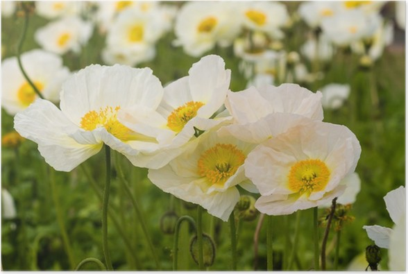 white poppy flowers Poster • Pixers® • We live to change