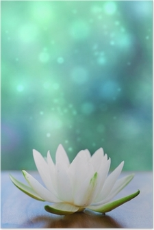 white water lilly flower Poster