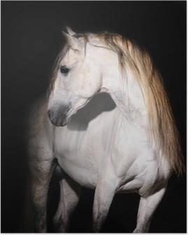 Poster Witte Andalusische paard op zwart