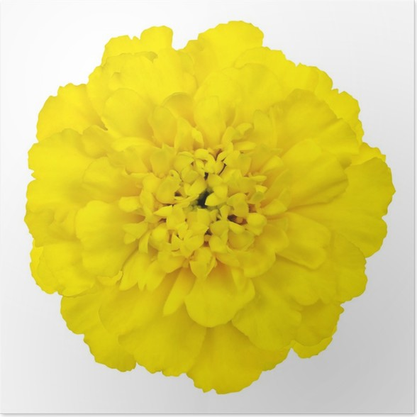 Yellow marigold flower isolated on white background poster pixers yellow marigold flower isolated on white background poster mightylinksfo