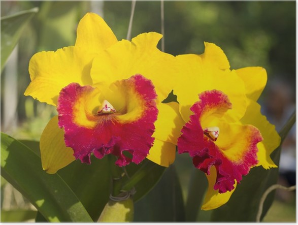 Yellow orchid flowers poster pixers we live to change yellow orchid flowers poster mightylinksfo