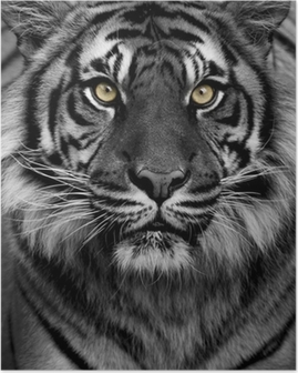 Poster Yeux tigre