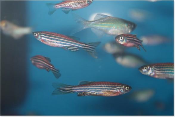 Zebrafish Danio Rerio Aquarium Fish Poster
