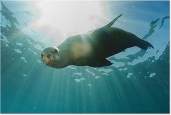 Poster Zeeleeuw onderwater op zoek naar jou