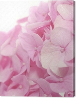 Beautiful Pink Hydrangea Flowers on White Background Premium prints