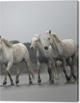 Camargue white horse Premium prints