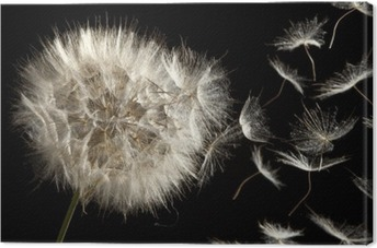 Dandelion Loosing Seeds in the Wind Premium prints