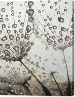 Dandelion seeds with dew drops Premium prints