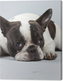 French bulldog black and white isolated against grey background. Premium prints