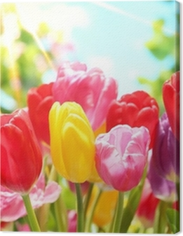 Fresh tulips in warm sunlight Premium prints