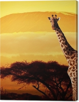 Giraffe on savanna. Mount Kilimanjaro at sunset. Safari Premium prints