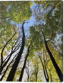 Looking up to the sky in the forest Premium prints