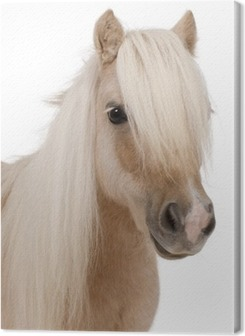 Palomino Shetland pony, Equus caballus, 3 years old Premium prints
