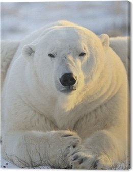 Polar bear lying at tundra. Premium prints