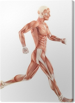 Running man muscles anatomy system isolated on white background Premium prints