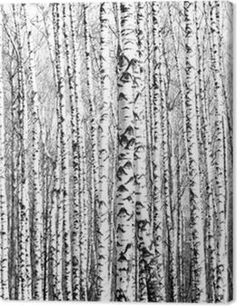 Spring trunks of birch trees black and white Premium prints