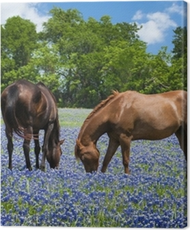 Two horses grazing in the bluebonnet pasture in Texas spring Premium prints