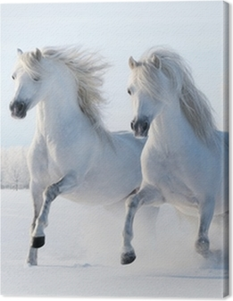 Two white horses gallop in the snow Premium prints