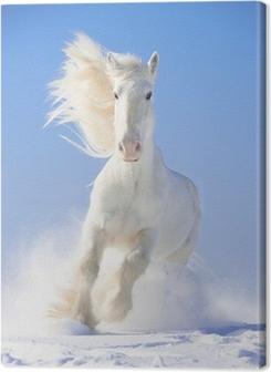 White horse stallion runs gallop in front focus Premium prints