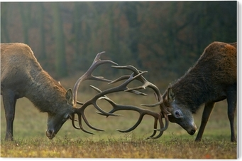 Red deer fight PVC Print