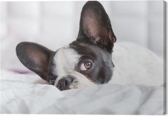 Quadro su Tela Adorabile cucciolo bulldog francese sdraiato nel letto