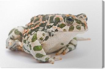 Quadro su Tela Bufo viridis. Rospo verde su sfondo bianco.