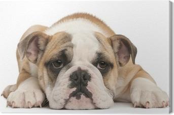 Quadro su Tela Cucciolo di bulldog inglese, 4 mesi di età, che giace