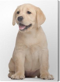 Quadro su Tela Cucciolo di Labrador, 7 settimane di vita, di fronte a sfondo bianco