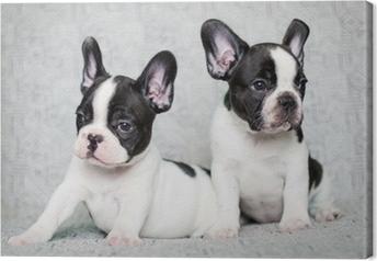 Quadro su Tela Due cuccioli di bulldog francese