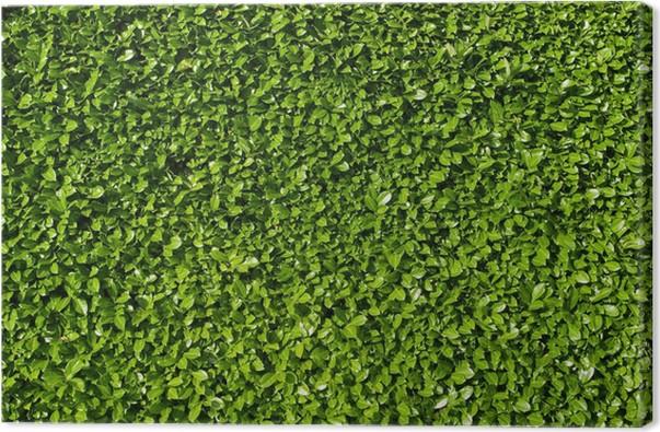 Quadro Su Tela Foglie Di Alloro, Siepe Di Cespugli Di Alloro Verde