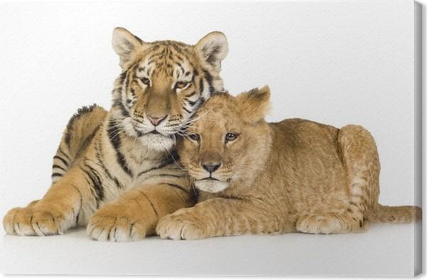 Quadro su tela lion cub 5 mesi e il cucciolo di tigre 5 mesi