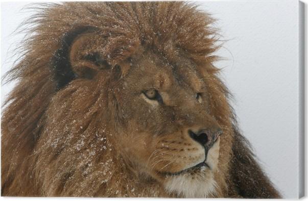 Quadro su tela maschio estinta in natura barberia lion in snow