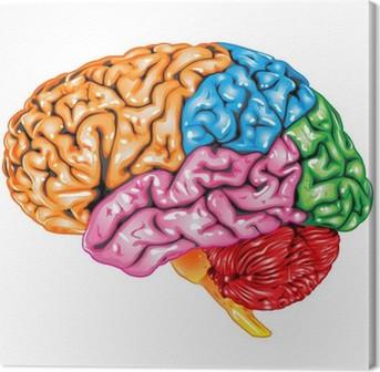 Quadro su Tela Vista laterale di cervello umano