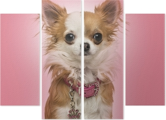 Chihuahua wearing a shiny collar, sitting on pink background Quadriptych