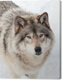 Quadro em Tela Gray Wolf in the Snow Looking up at the Camera